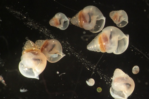 Limacina retroversa, a species of pteropod that proved to be very abundant in the northern part of our study area. These beautiful shells are only about a millimeter long.