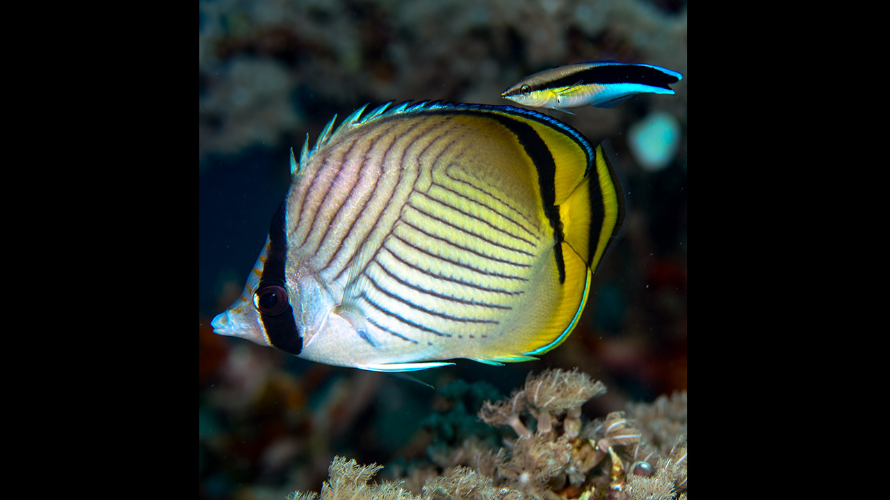 butterfly fish in Papua New Guinea