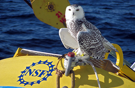 Snowy owl on OOI buoy