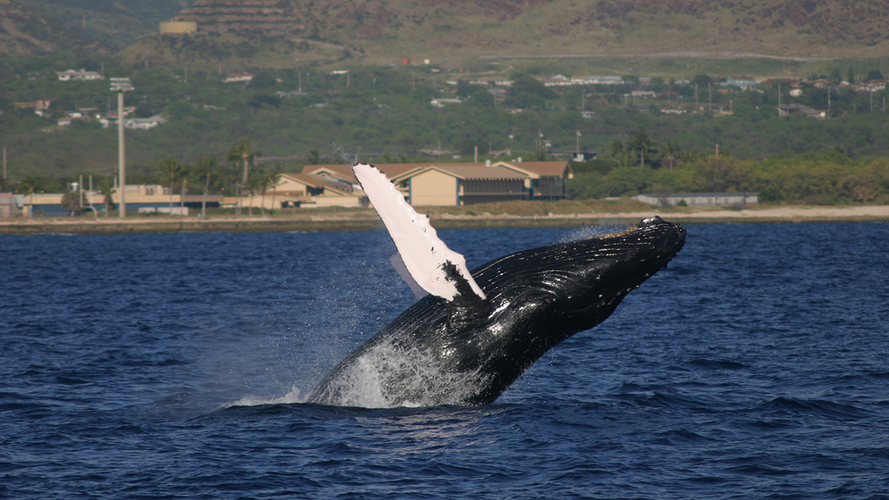 WHOI Study Sheds Light on Previously Overlooked Aspect of Whale ...