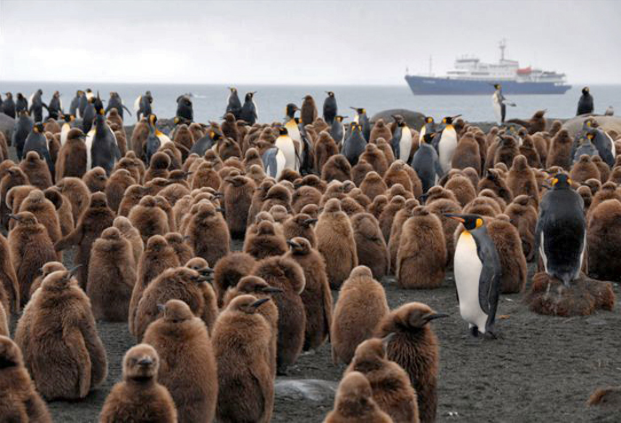 South Georgia penguin colony