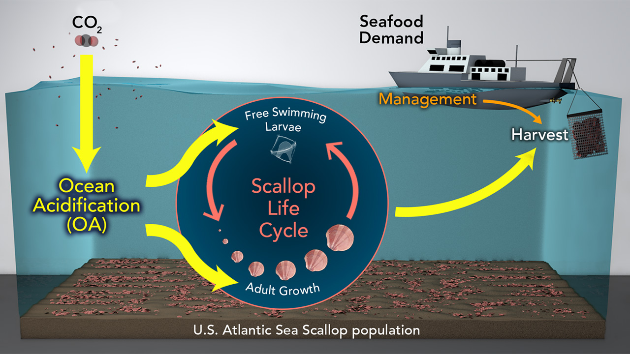 Sea scallop model illustration