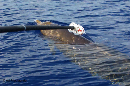 After this beaked whale was tagged, the device recorded and stored data about the animal's behavior and information about the surrounding ocean environment.