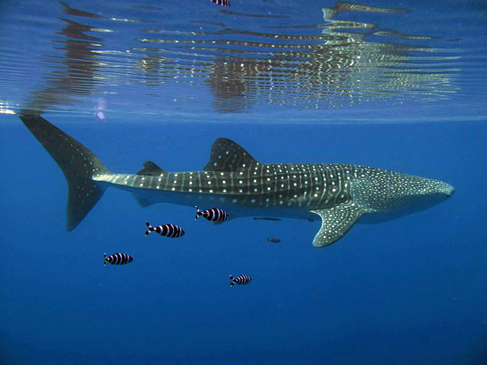 Whale shark in Red Sea
