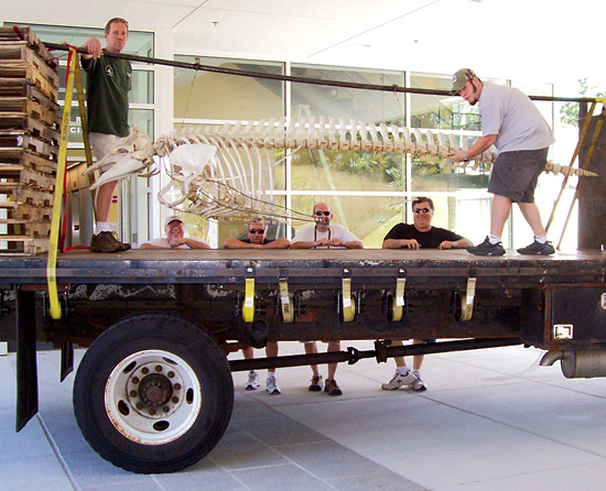 a group of workers from the Facilities department moved the Pilot Whale skeleton, which had been hanging in Redfield lobby, up to its new home in the hallway at MRF.
