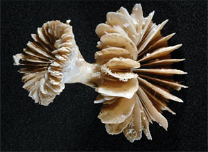 Photograph of fossil deep-water coral