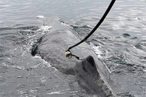 sperm whale is tagged