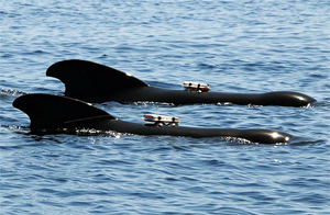 DTAGs deployed on pilot whales
