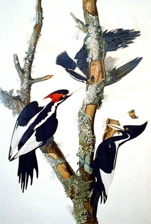 Engraving of the Ivory-billed Woodpecker
