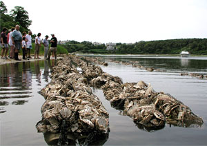 distribute millions of seed oysters