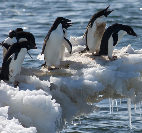 adelie penguins on ice ledge