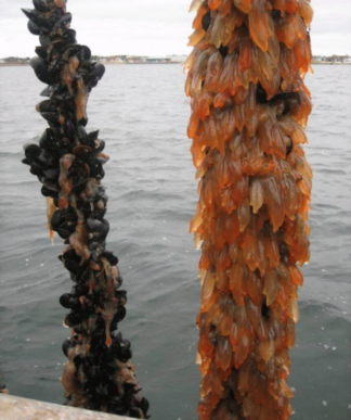 Ciona intestinalis on blue mussel aquaculture line, Prince Edward Island.