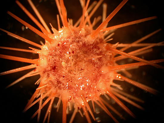 A sea urchin recovered from Alvin dive at7-13.