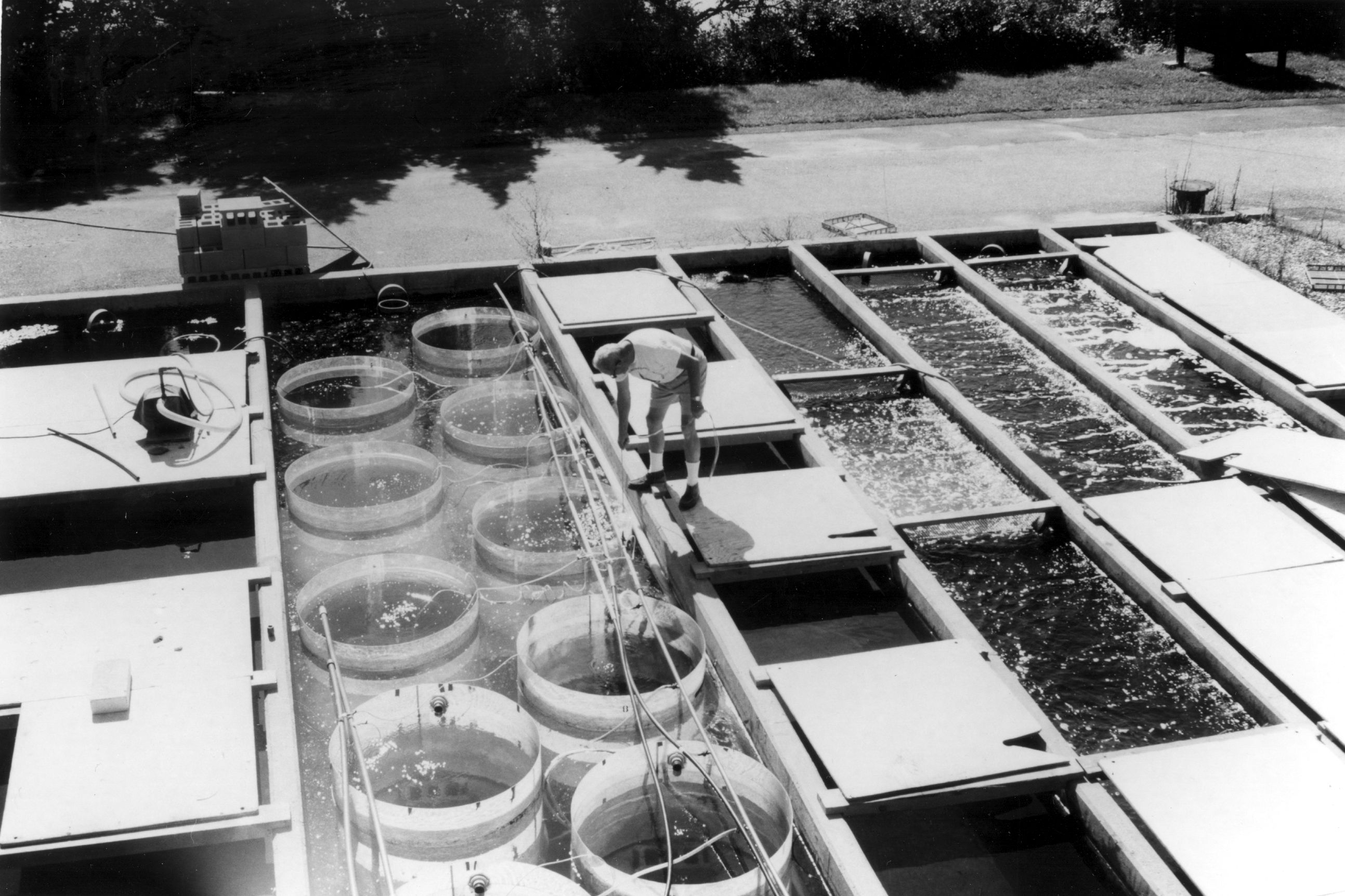 Nat Corwin in 1978 using the ESL raceways for a grazing experiment