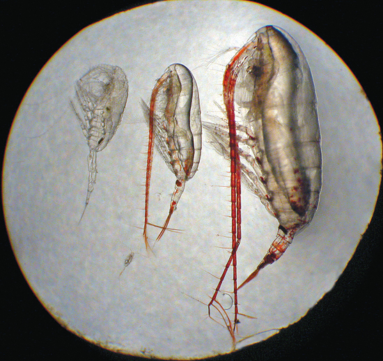 The four major species of copepods in the Beaufort Sea all have different sizes, different life cycles, and different prey.