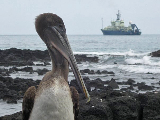 A brown pelican (Pelecanus occidentalis) checks out the WHOI-operated research vessel Atlantis off the coast of the Galapagos Islands in January 2009. R/V Atlantis and the Alvin submersible were there to recover ocean-bottom seismometers and other seafloor instruments.