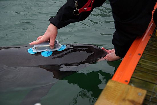 DeRuiter/Bahr D-tag being applied to a porpoise.