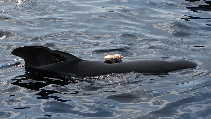 D-tag on long-finned pilot whale