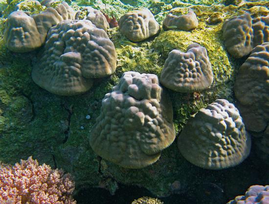 juvenile corals