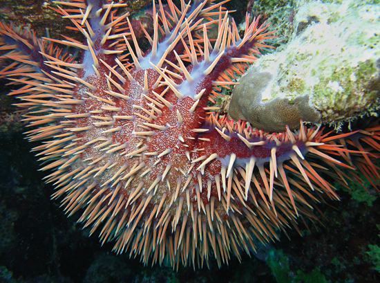 crown-of-thorns sea star