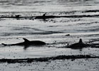 Common Dolphin Strandings
