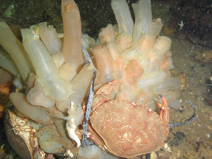 Ciona intestinalis and native rock crab, Little Bay, Marystown, Newfoundland