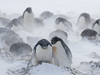 Penguins huddled together during blizzard conditions.