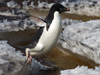 A plucky Adelie penguin clears a meltwater stream.