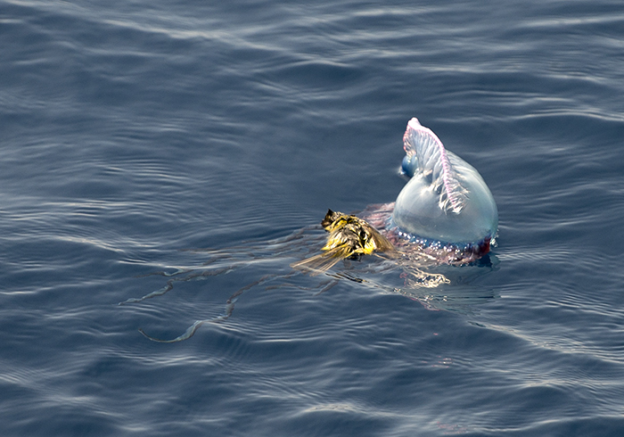 Portuguese man-of-war snares a warbler