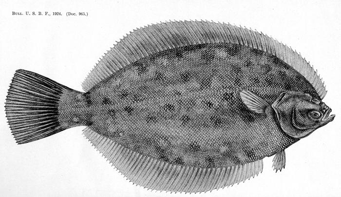 Bigelow flounder sketch