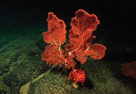 Paragorgia coral