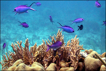 Blue chromis,  or damselfish