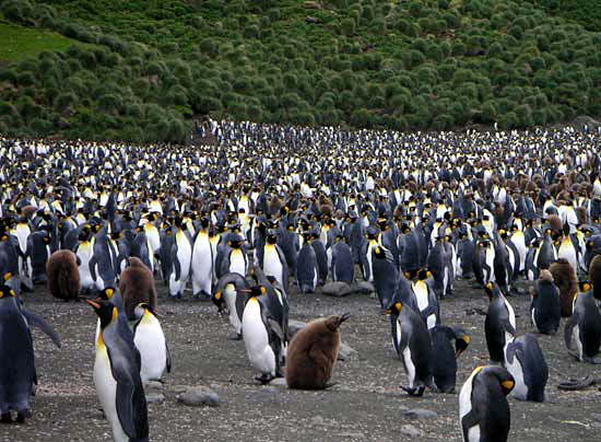 Penguins on Macquarie Island in the Southern Ocean.