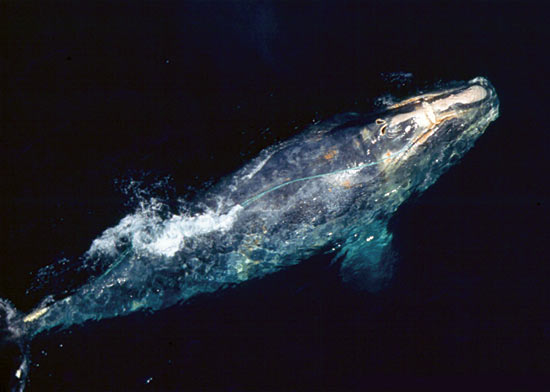 endangered North Atlantic right whale sighted during a NOAA Fisheries whale research flight