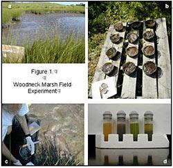 Woodneck Marsh Field Experiment