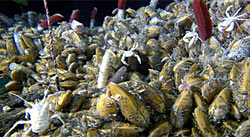 Dense community of vent mussels and tubeworms