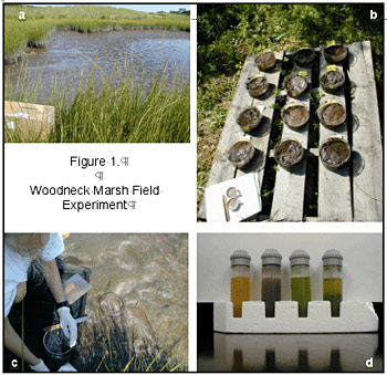 Woodneck Marsh Field Experiment