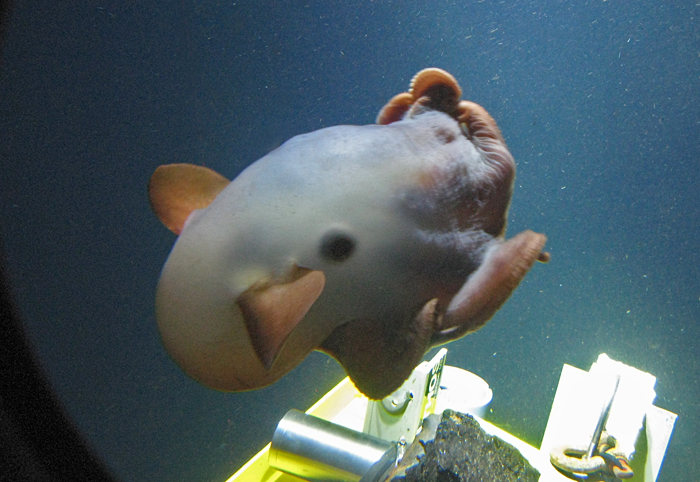Dumbo octopus examines Alvin