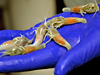 New vent shrimp species