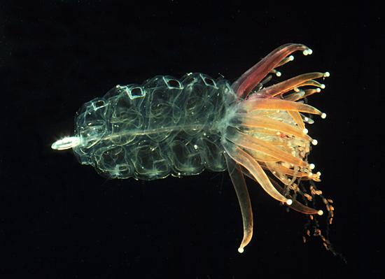 Physophora hydrostatica