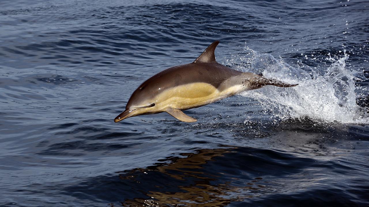 Dolphin swims alongside RV Armstrong
