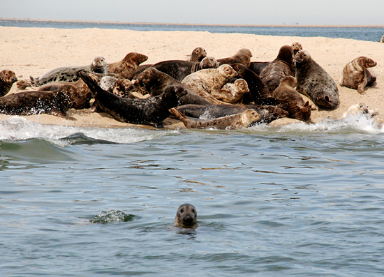 Seals on Billingsgate Shoal