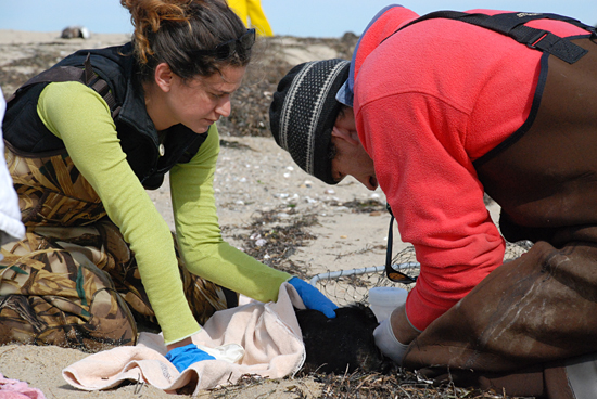 Andrea Bogomolni and Michael Moore down in Wellfleet counting/collecting dead eiders and live seals.