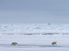 three polar bears