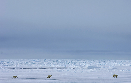 polar bears crossing ice