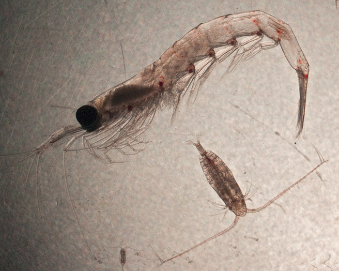 a krill and two copepods from the Arctic Ocean