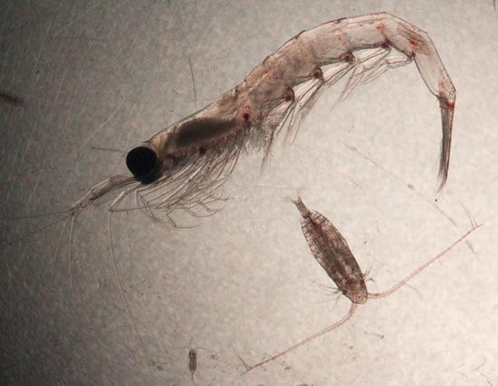 Calanus and krill