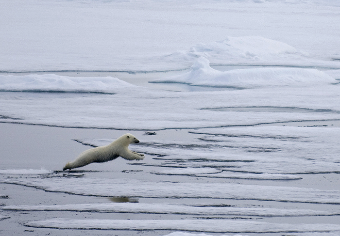 polar bear jumps between floes