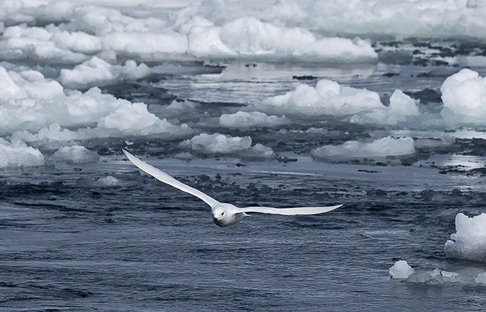 Snow petrel in Antarctica