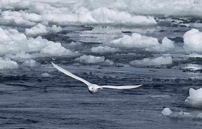 Snow petrel in Antarctica